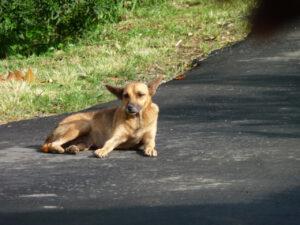 island dog