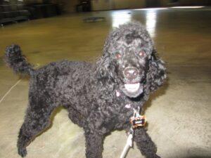 dog training collar